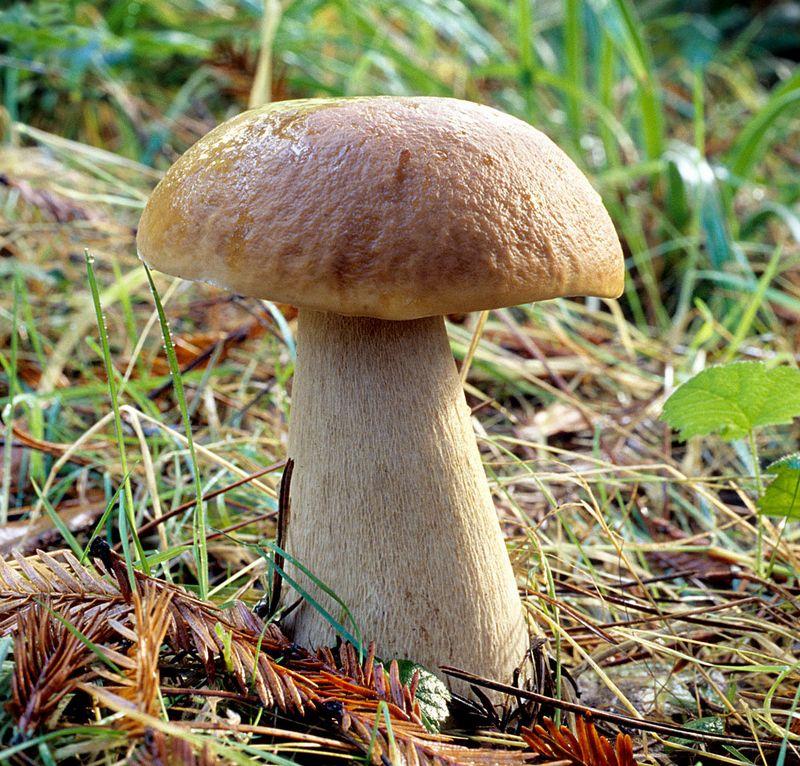 Білий гриб (boletus edulis) фото і опис