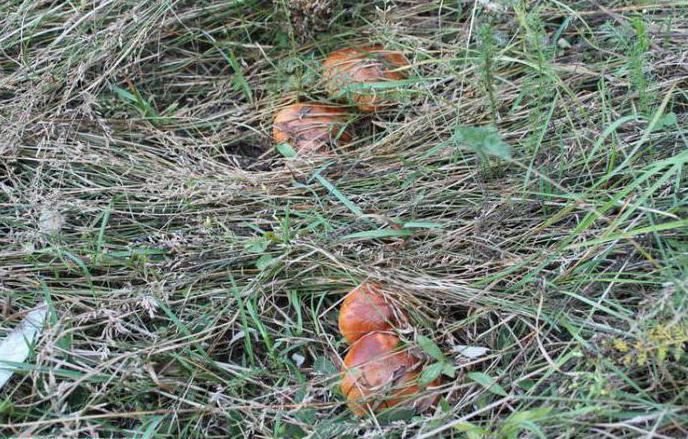Білий гриб трубчастий або пластинчастий, відмінності з фото
