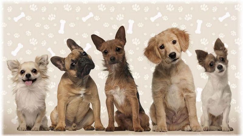 Декоративні породи собак фото, назву, вибір щеняти для квартири, відгуки, відео