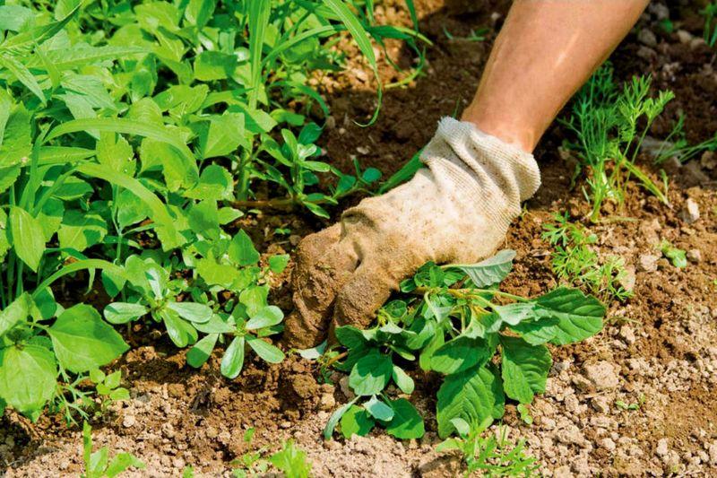 Як позбутися від сниті на якому грунті росте шепоче бур'ян, як боротися (знищити) на садів