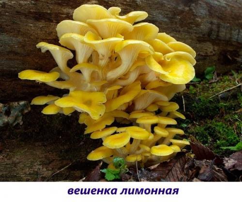 Як називається гриб з білим капелюшком і червоною ніжкою