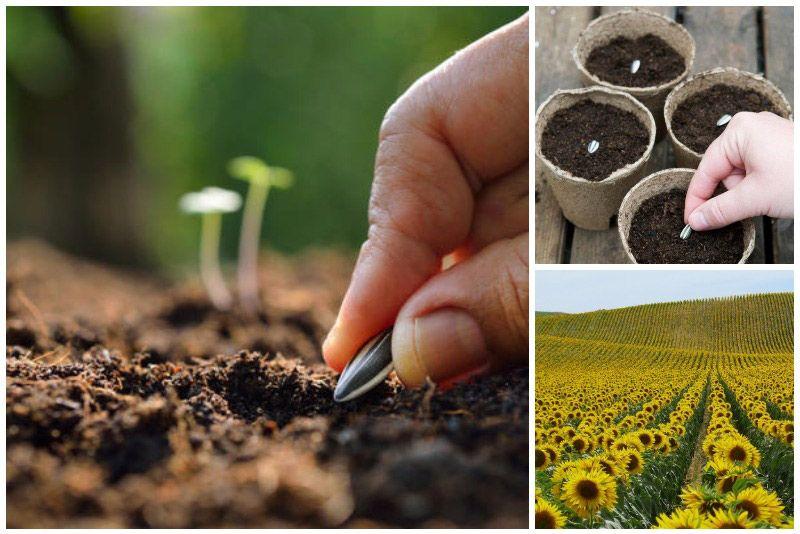 Як посадити і виростити соняшник з насіння на дачі 7 етапів