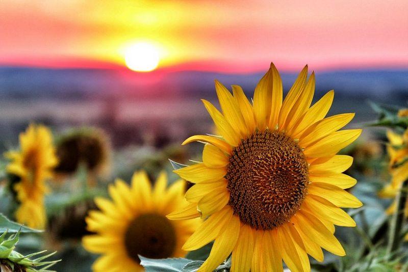 Як сушити насіння соняшнику є відповідь!