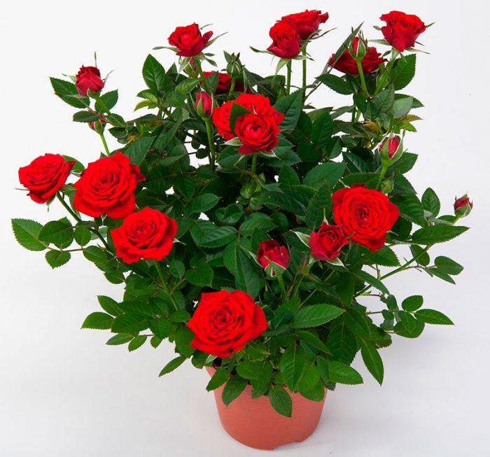 Як вирощувати вуличну троянду в домашніх умовах в горщику можна посадити 1