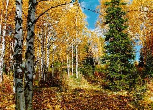 Які дерева восени не жовтіють