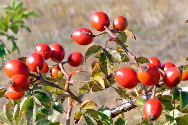 Які ягоди збирають восени назви з картинками, корисні і лікувальні властивості