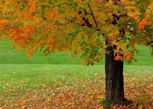 Яке дерево жовтіє восени першим дачне життя