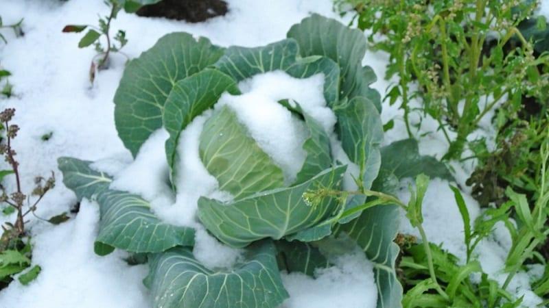 Капуста підмерзла - що робити, як бути з капустою, яка підмерзла прямо на грядці або при збер