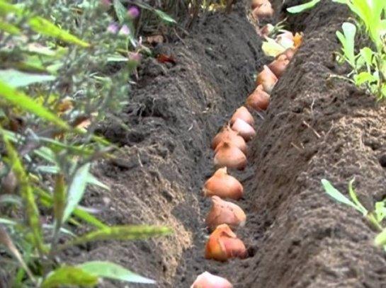 Коли садити тюльпани і як терміни, глибина, правила висадки