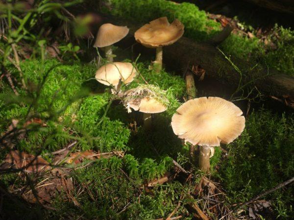 Ковпак кільчастий гриб як готувати%