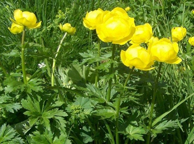 Купальниця - улюблена квітка тролів