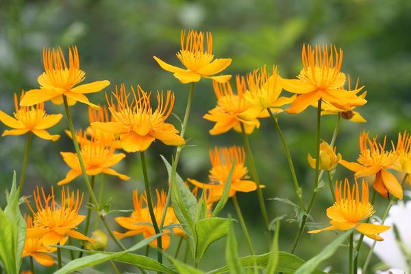 Купальниця все про цю квітку, його видах, сортах і вирощуванні