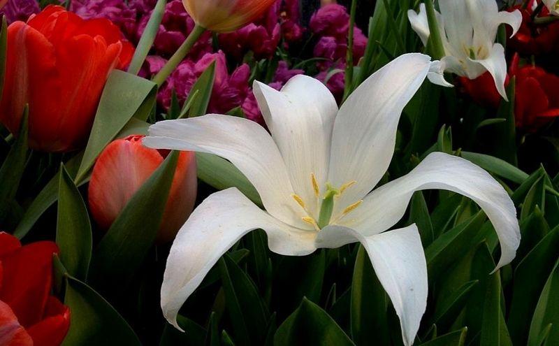 Лілії та тюльпани - гірші квіти не можна садити поруч, а якісь можна
