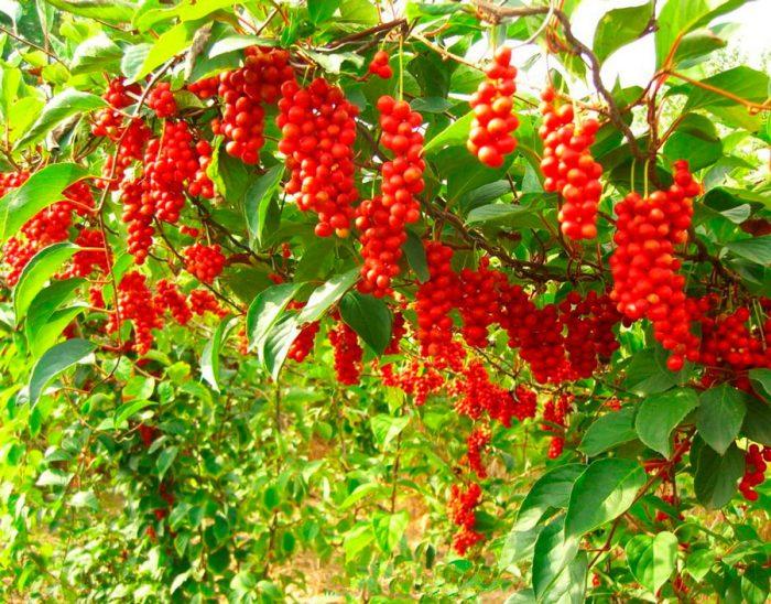 Лимонник вирощування і догляд, правила посадки, лікувальні властивості