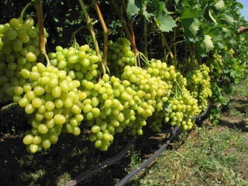 Чи може дозріти виноград будинку