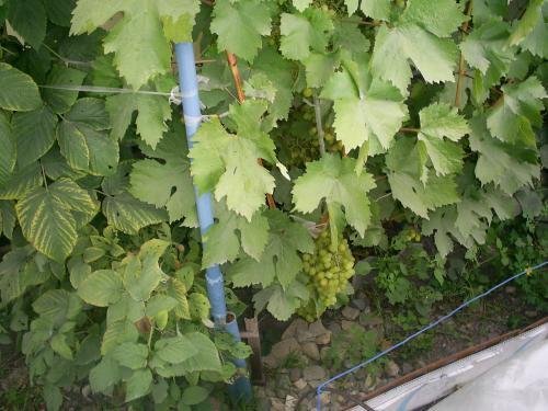 Чи може дозріти виноград після зрізання