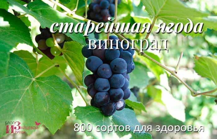 Чи може дозріти виноград