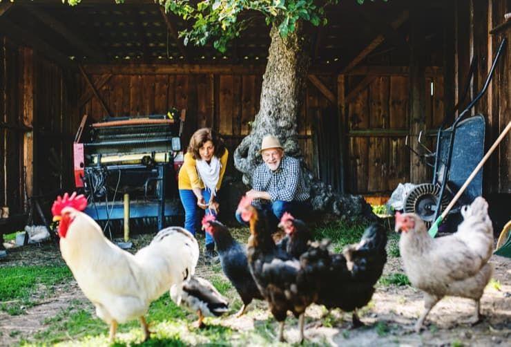 Чи можна тримати курей на ділянці СНТ, дачі, в приватному будинку, місті правила утримання птахів згідно р