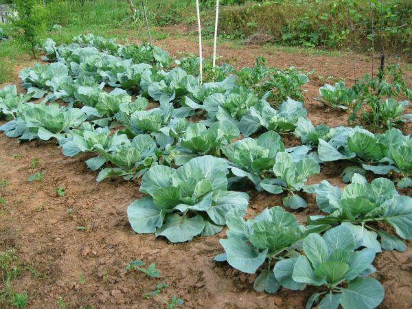 Чи можна садити капусту в тіні