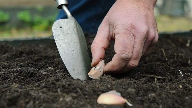 Обробка часнику перед посадкою марганцівкою, мідним купоросом, лугом і іншими засобами