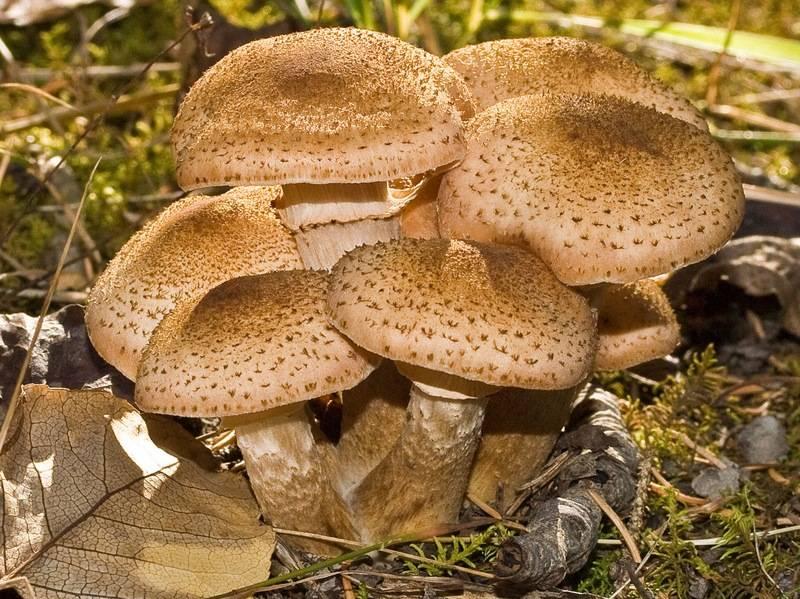 Опеньок (опеньки) - опис, види, де ростуть, властивості, фото