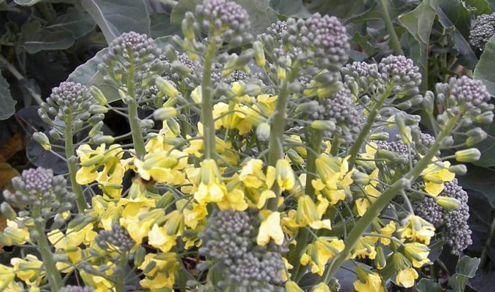 Чому цвіте білокачанна капуста