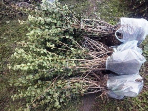 Посадка агрусу восени як і коли правильно садити