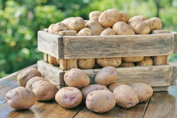 При якій температурі зберігають картопля взимку оптимальний режим який витримує овоч, коли замерз
