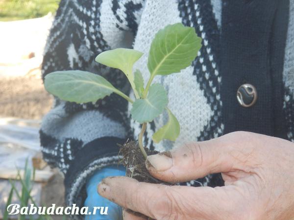 При якій температурі висаджувати капусту в грунт дача
