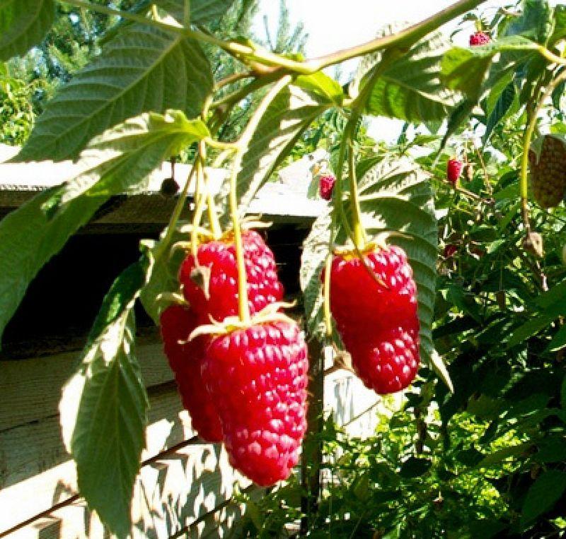 Ремонтантна малина догляд і правила вирощування