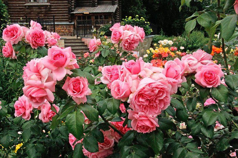 Троянди мелкоцветковиє кущові - щоденник садівника
