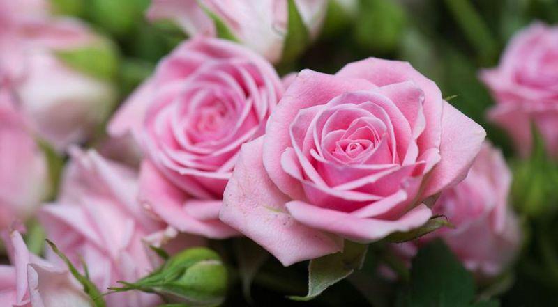 Троянди ознаки нестачі елементів живлення на