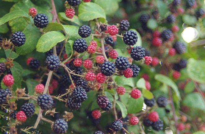 З чим поруч можна садити ожину сумісність з іншими рослинами і культурами