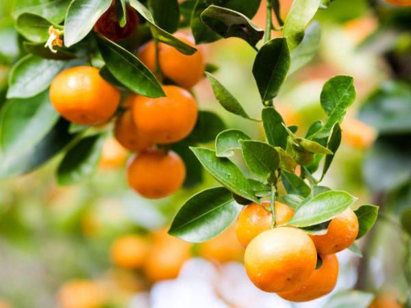 Сорти мандаринів як називаються, опис