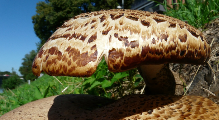 Трутовик лускатий (пестрец) смачний їстівний гриб 4 категорії