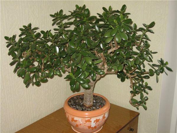 У грошового дерева починають опадати листя причини, що робити з толстянка