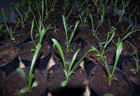 Вирощування гацаніі з насіння терміни посадки, тонкощі догляду, відео