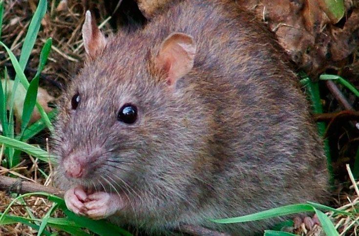 Земляна щур в городі - фото і методи боротьби - veela
