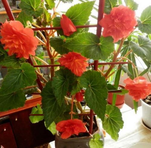 Квітка іван та Мар'я бегонія кімнатна, як виглядає