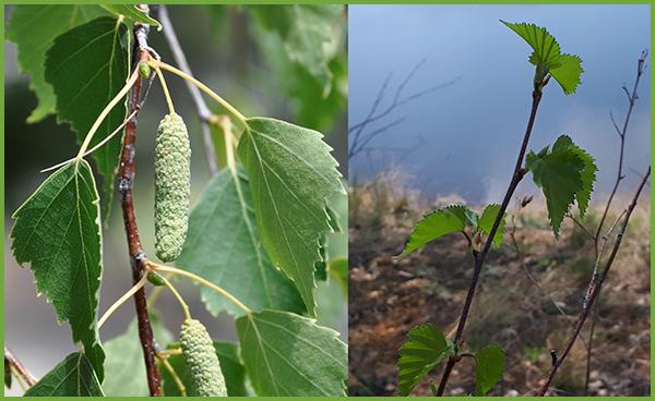 Дерева в місті назви і фото які бувають види листяних дерев, їх фото та назви; ксм; кому