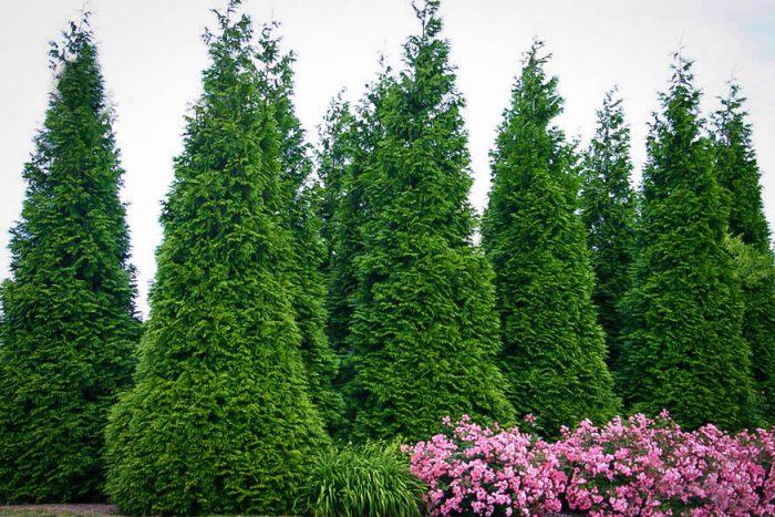 Дерево туя посадка і догляд у відкритому грунті, види і сорти з фото