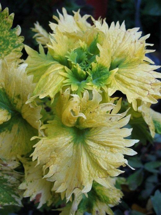 Домашня кропива квітка