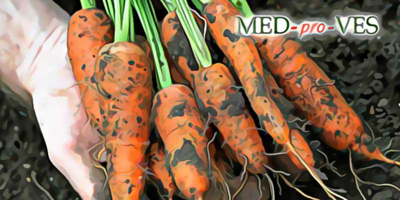 Я худну чи можна їсти моркву при схудненні