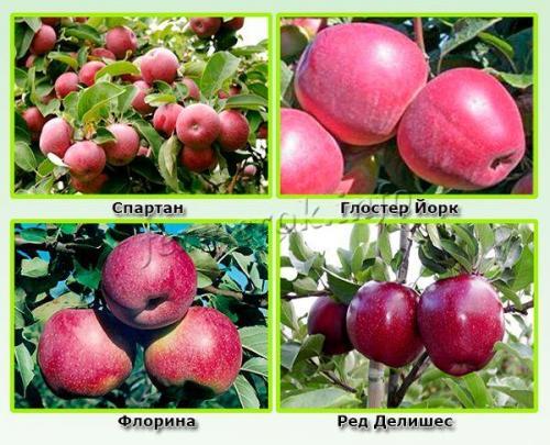 Яблука червоні осінні сорти