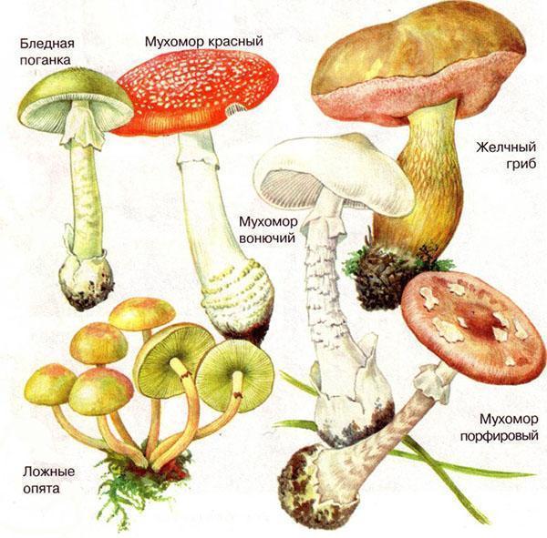 Отруйні гриби - сатанинський, корбан, жовчний, бліда поганка, гриби парасольки, мухомор, фото, опис
