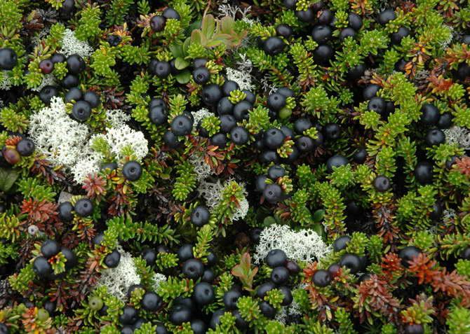 Ягода водяника або вороника або шікша корисні властивості посадка і догляд у відкритому грунті вирощування