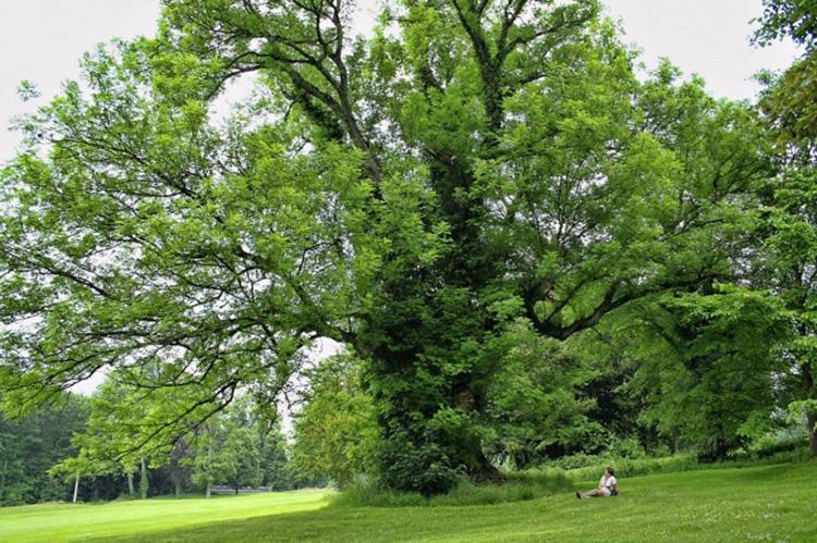 Ясень фото дерева і листя, опис популярних видів, цікаві факти