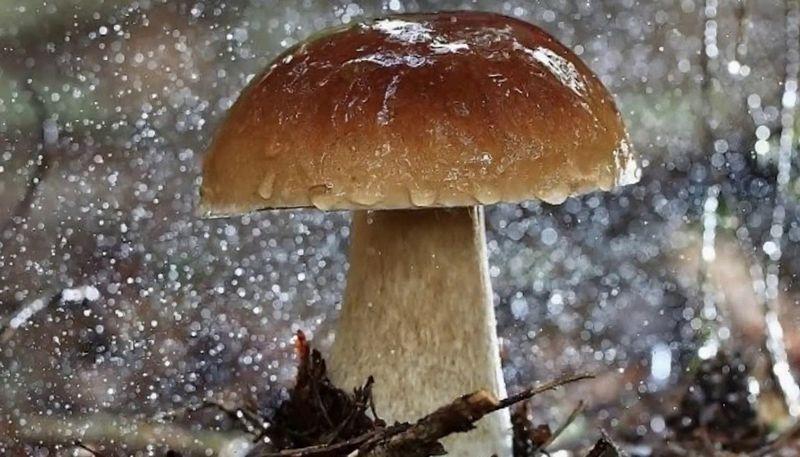 Як швидко ростуть гриби і коли з'являються після дощу