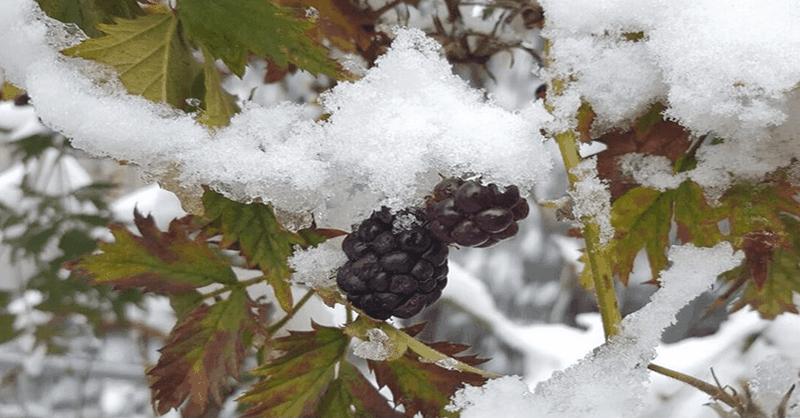 Як укрити ожину на зиму правильно керівництво для садівників