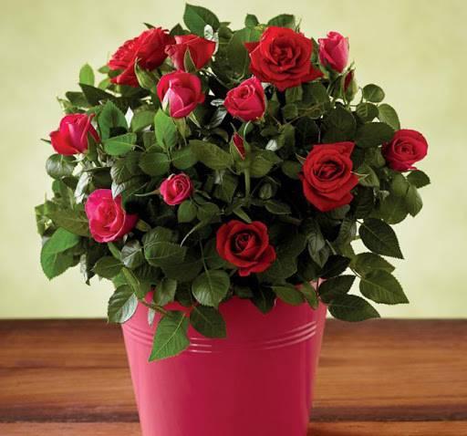 Як вирощувати вуличну троянду в домашніх умовах в горщику можна посадити